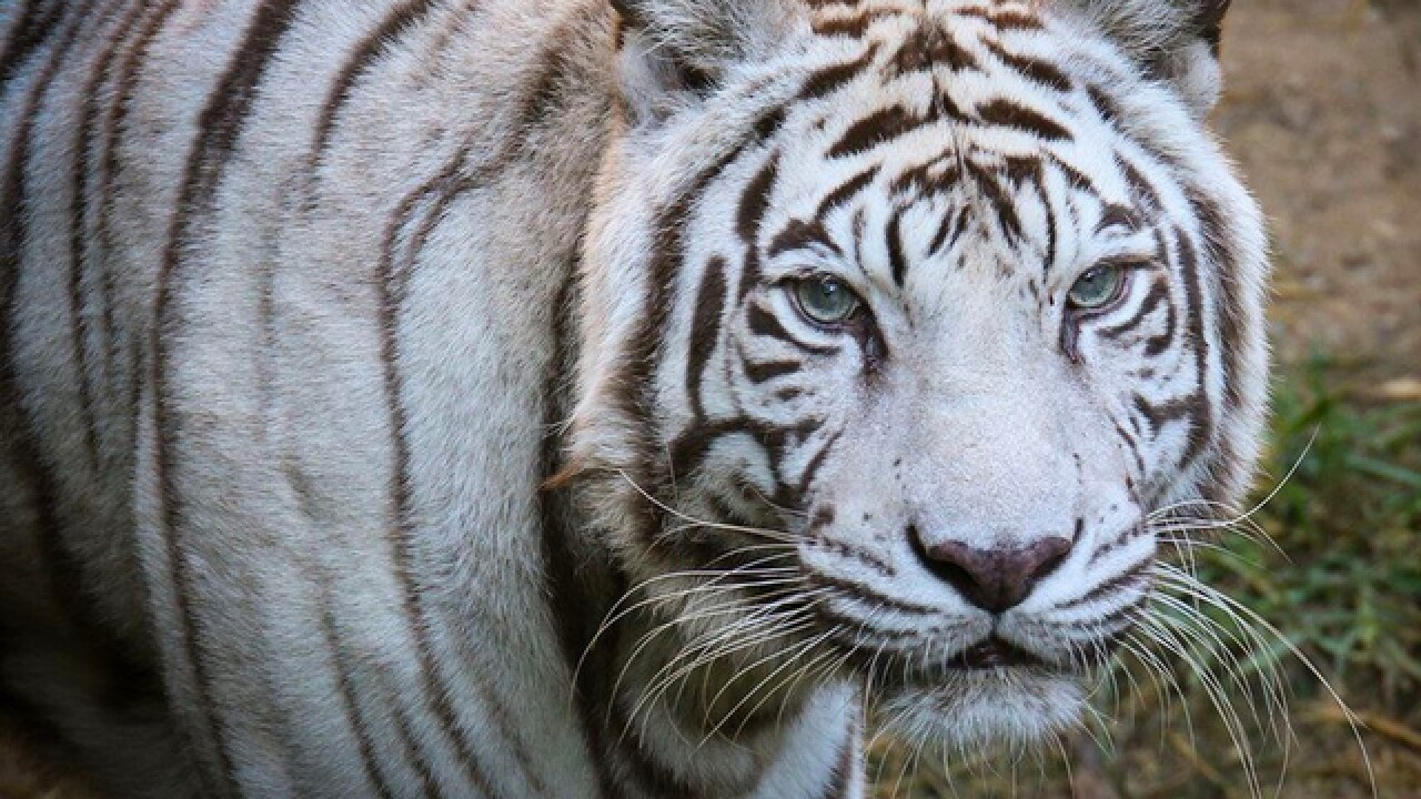 Cincinnati Zoo's last white tiger, Popsy, dies at 22