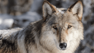 Montana lawmakers debate future of wolves