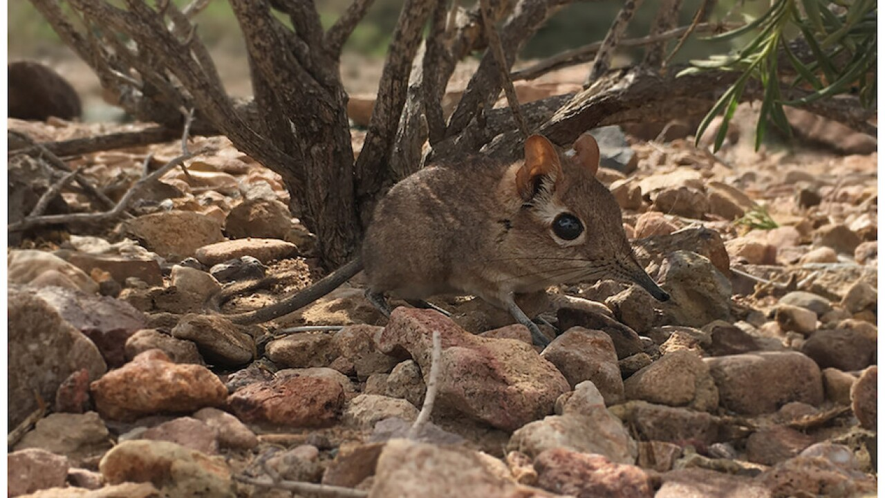 Mouse-sized creature considered 'lost species' resurfaces after 50 years