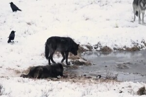 A closer look at black wolves in Yellowstone National Park