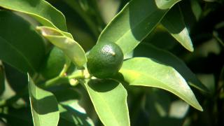Kumquat Growers