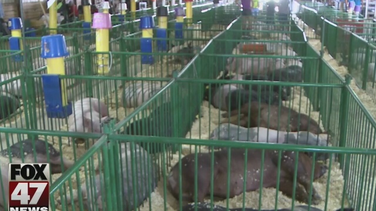 Dead pig tests positive for flue at Ingham fair