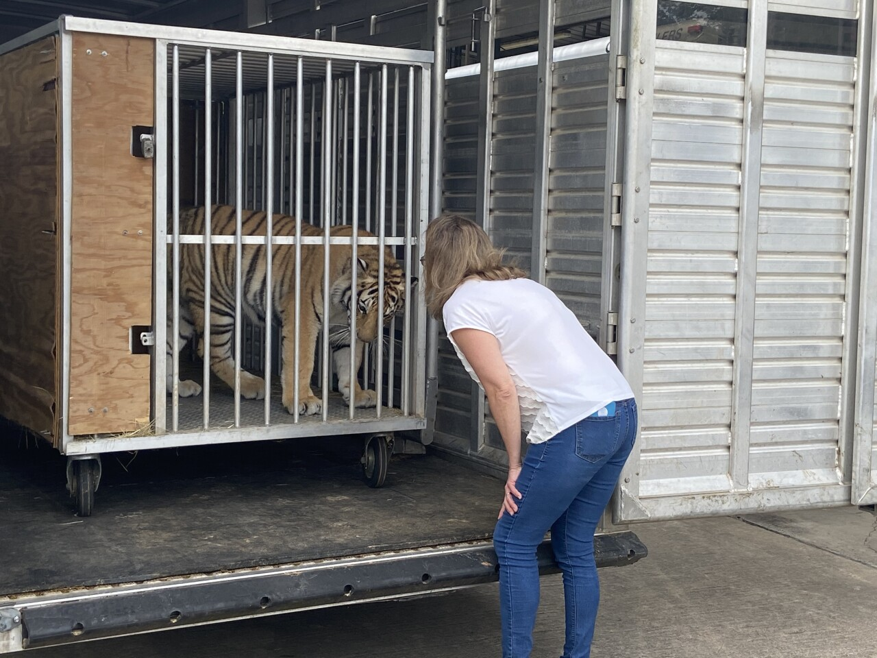 India the tiger arrives the Cleveland Amory Black Beauty Ranch