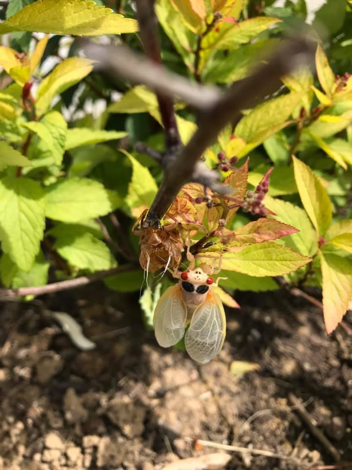 Cicada emerging from skin Alexandria.jpg