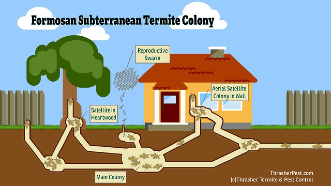 'Super-termites' discovered in La Mesa