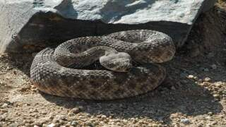 Rattlesnake bites firefighter in East County