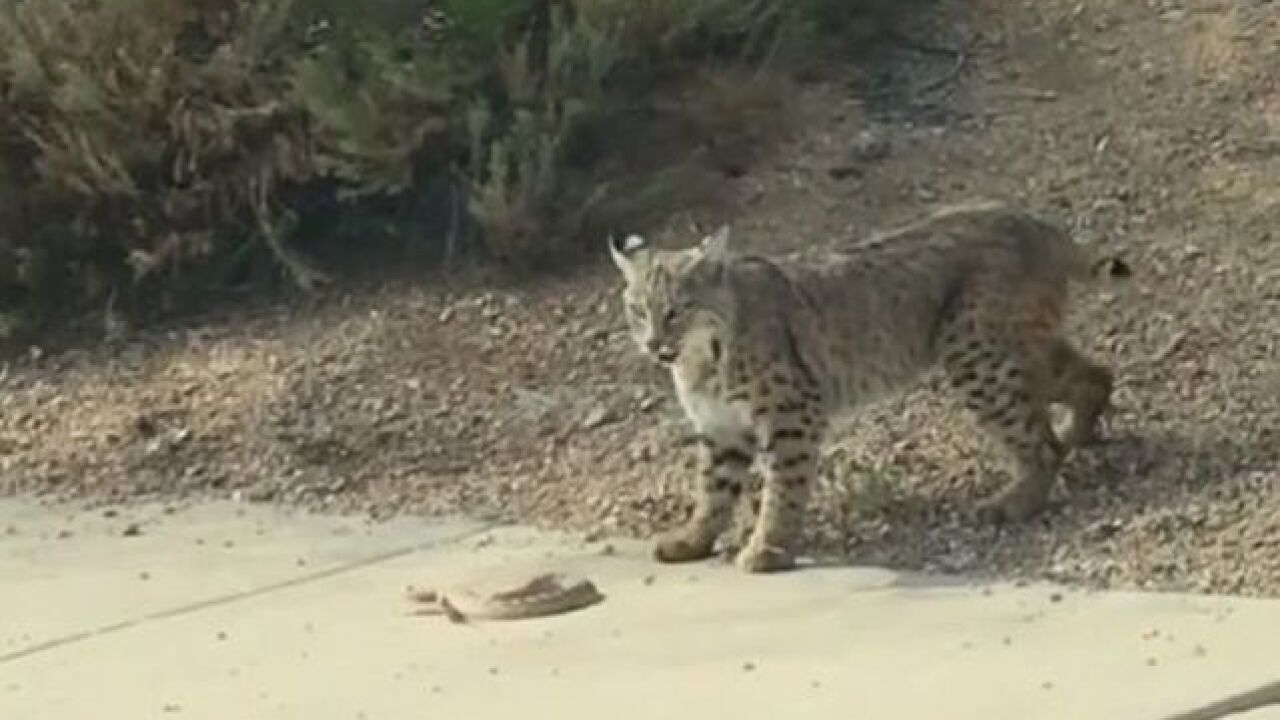 VIDEO: Bobcat, snake face off in Scottsdale