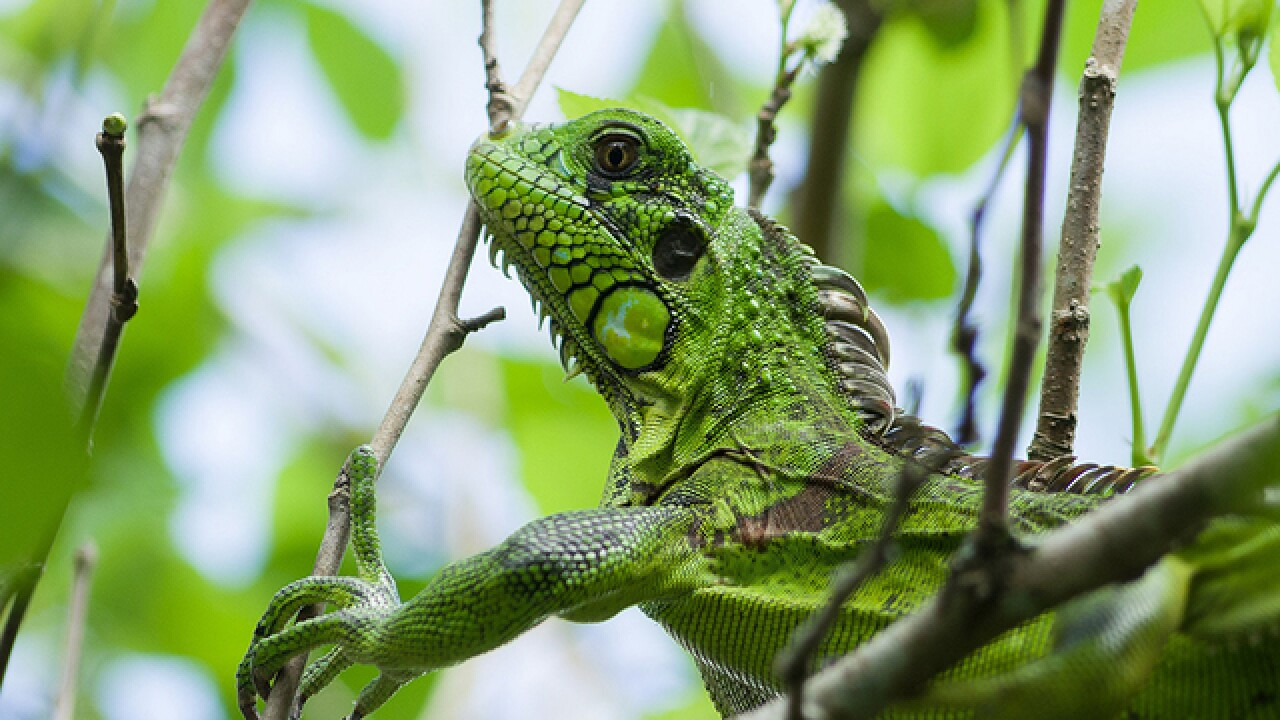 Iguana on power line knocks out South Florida nursing home's electricity