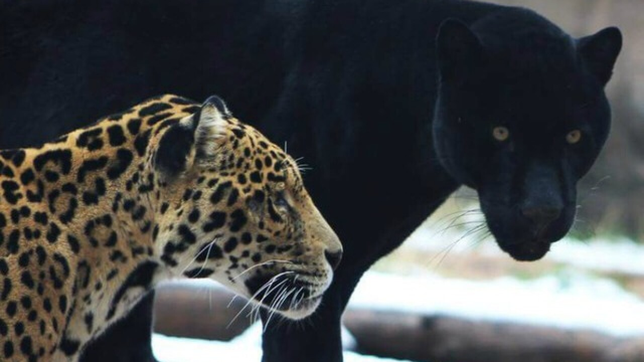 Bearizona adopts two jaguars from California