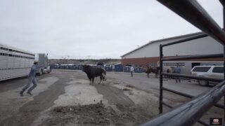 Q2 Exclusive Video: Bull briefly escapes at Billings PBR event