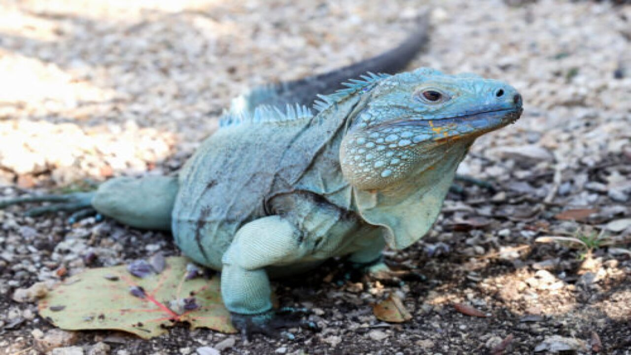 Iguanas Were Falling From Trees When Temperatures Dropped Into The 30s In Florida