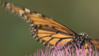 "OPPD ""Prairie in Progress"" helping monarch butterflies"