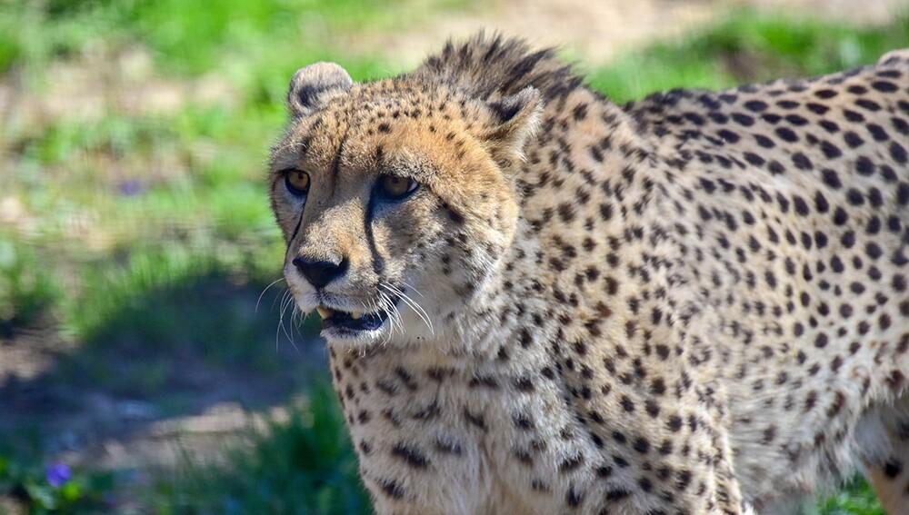 Zoo_Cheetah_04.jpg