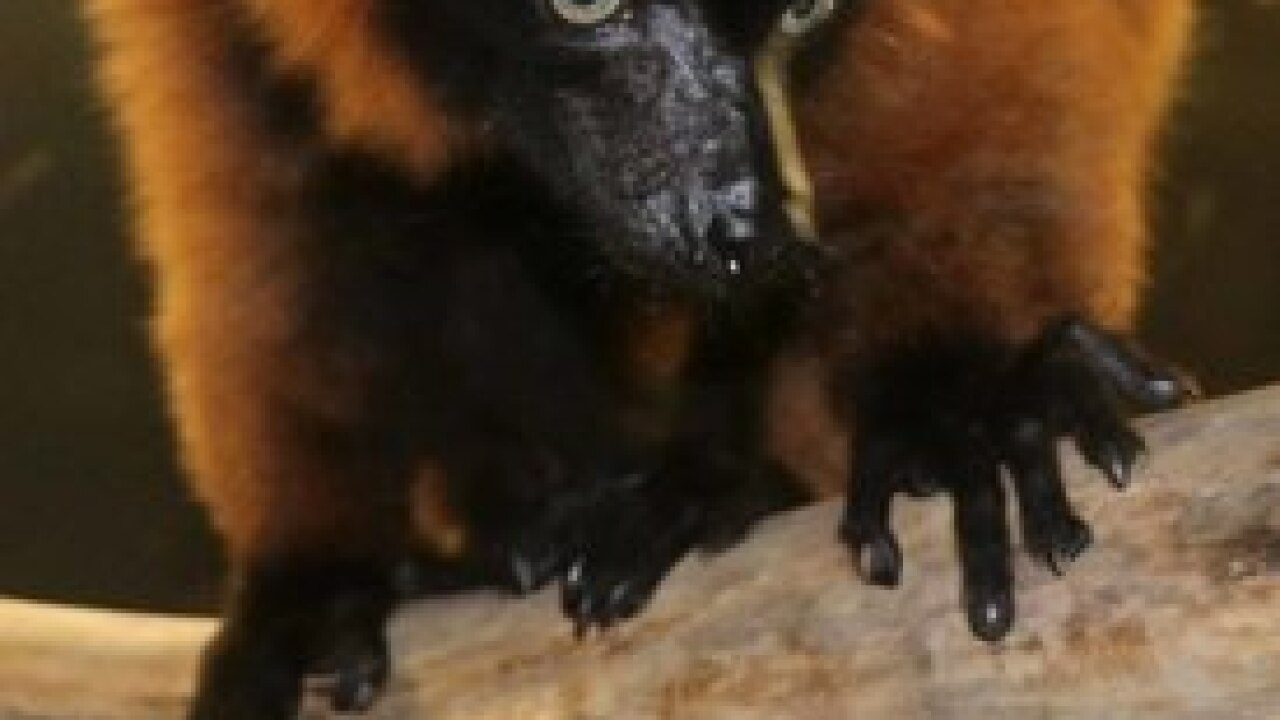 Red luffed lemurs born at Henry Doorly Zoo