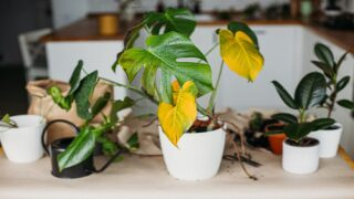7 Reasons Houseplants Turn Yellow And How To Fix Them