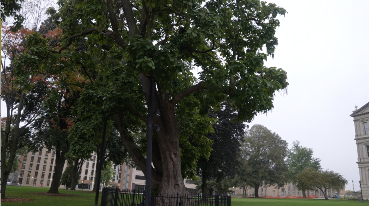The Capitol's catalpa tree, once the largest of its kind in North America, dates back to before the Civil War