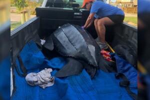 leatherback turtle 2.jpg