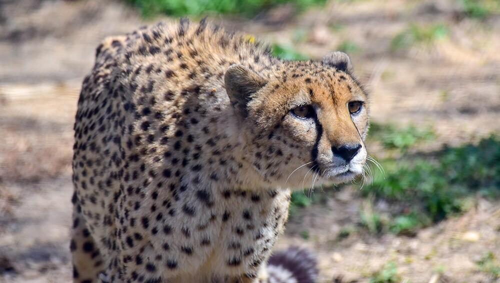 Zoo_Cheetah_09.jpg