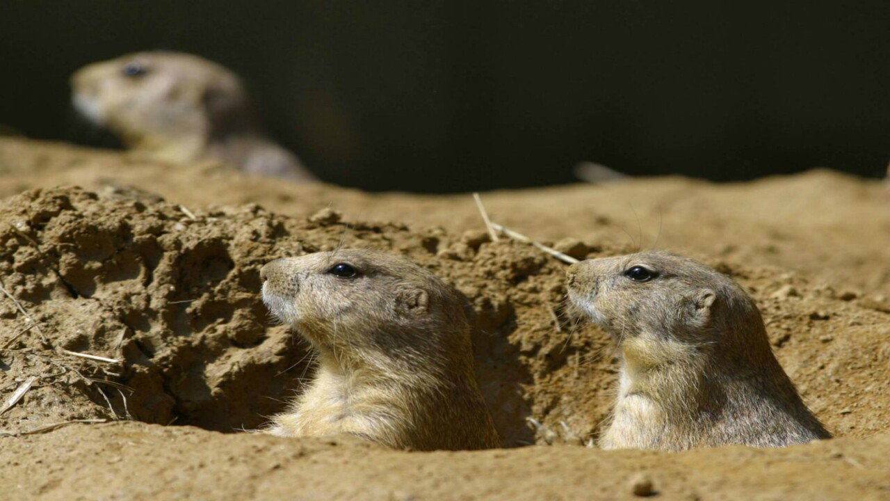 Plague-infected prairie dogs have shut down parts of Denver suburb