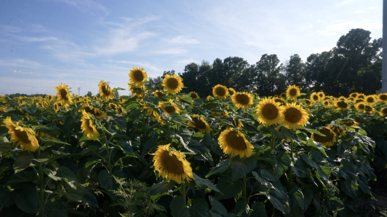 Munsell Farms in Fowlerville has 60 acres of sunflowers