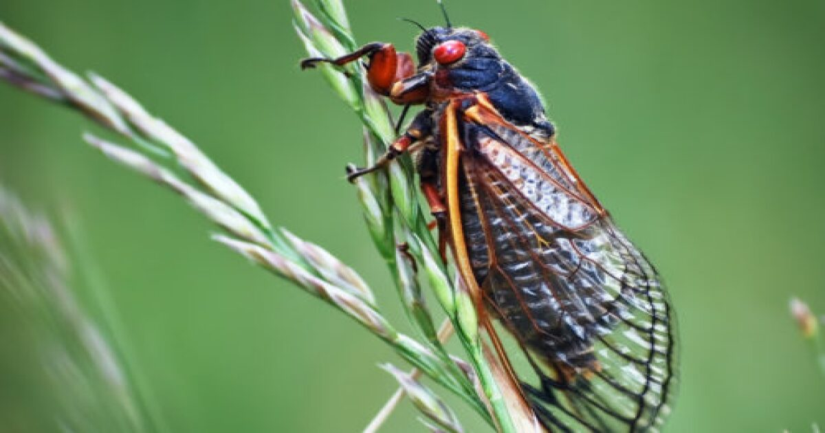 These bugs taste good on ice cream: Purdue bug doctor talks about the billions of Brood X cicadas emerging in Indiana