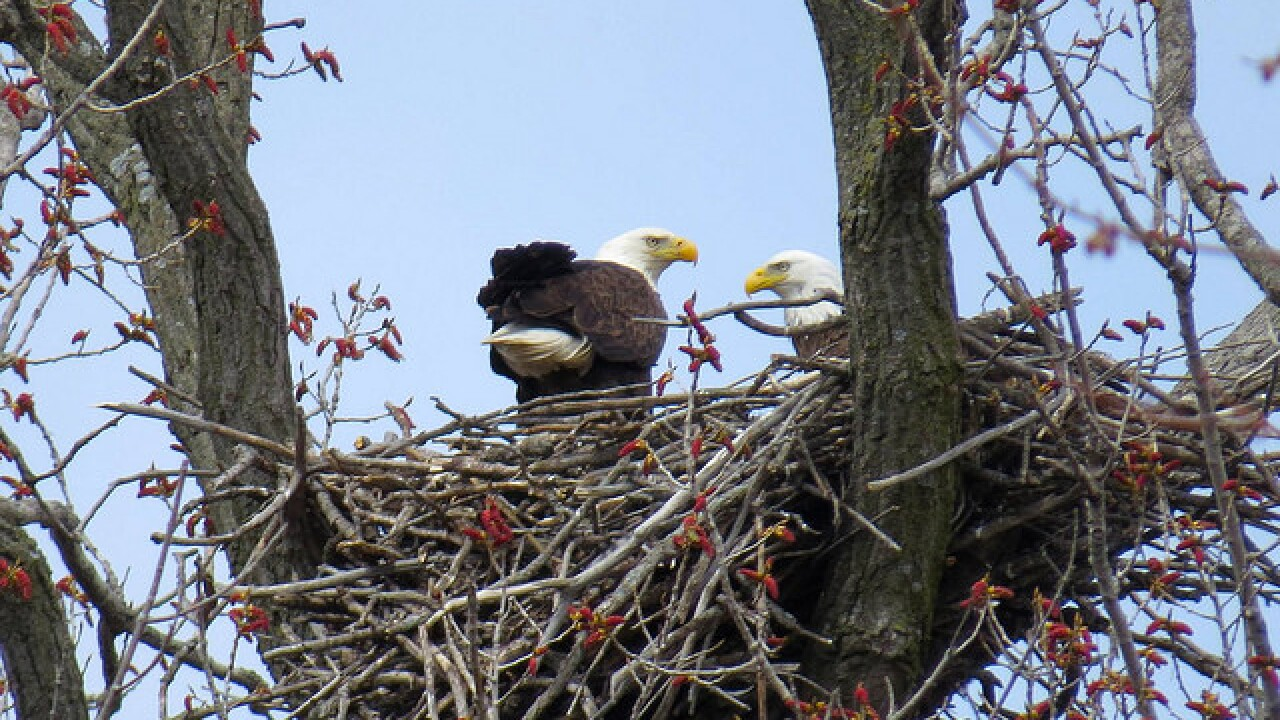 bald eagles-bald eagles nests-wisconsin-bald eagle survey-2018