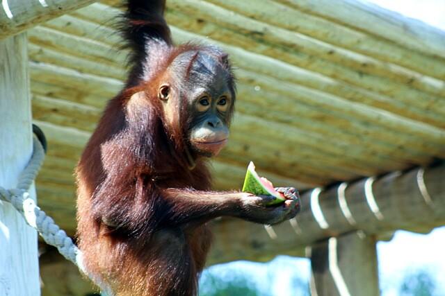 Phoenix Zoo's tiger, monkeys, elephants, tortoises enjoy watermelon on National Watermelon Day