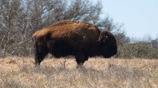 Bison gores teen in Theodore Roosevelt National Park