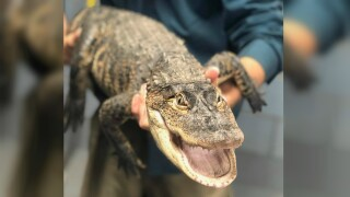 """Chicago alligator """"Chance the Snapper"""" finally caught after a week long search"""
