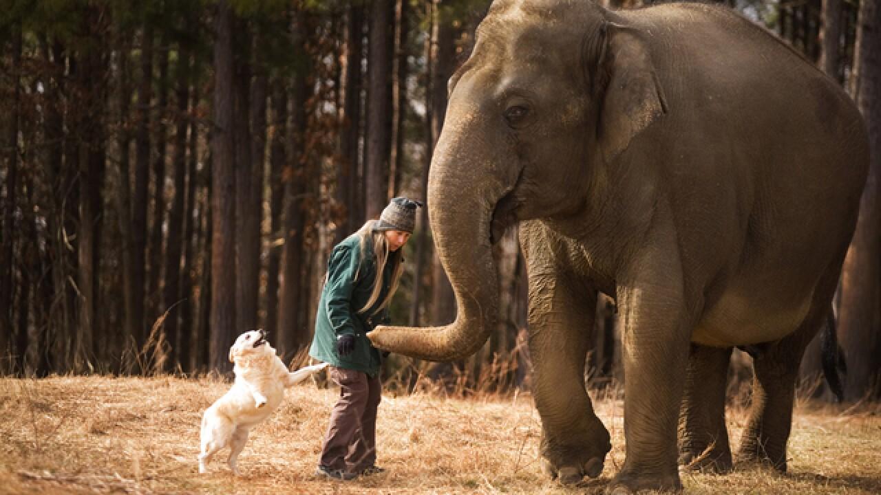 Legal battle rages over custody of an elephant