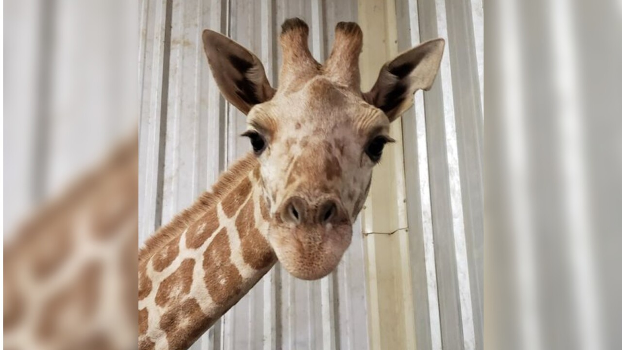 April the giraffe's last calf, Azizi, dies unexpectedly; 'His loss is absolutely devastating'