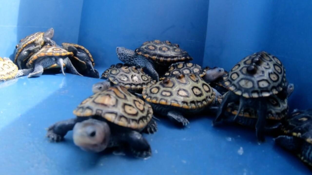 diamondback terrapin turtle hatchlings