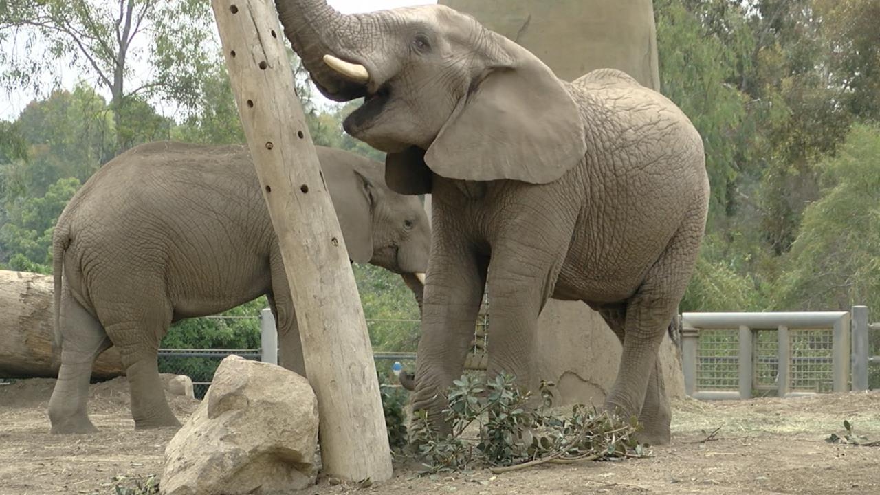 New Male Elephants at San Diego Zoo