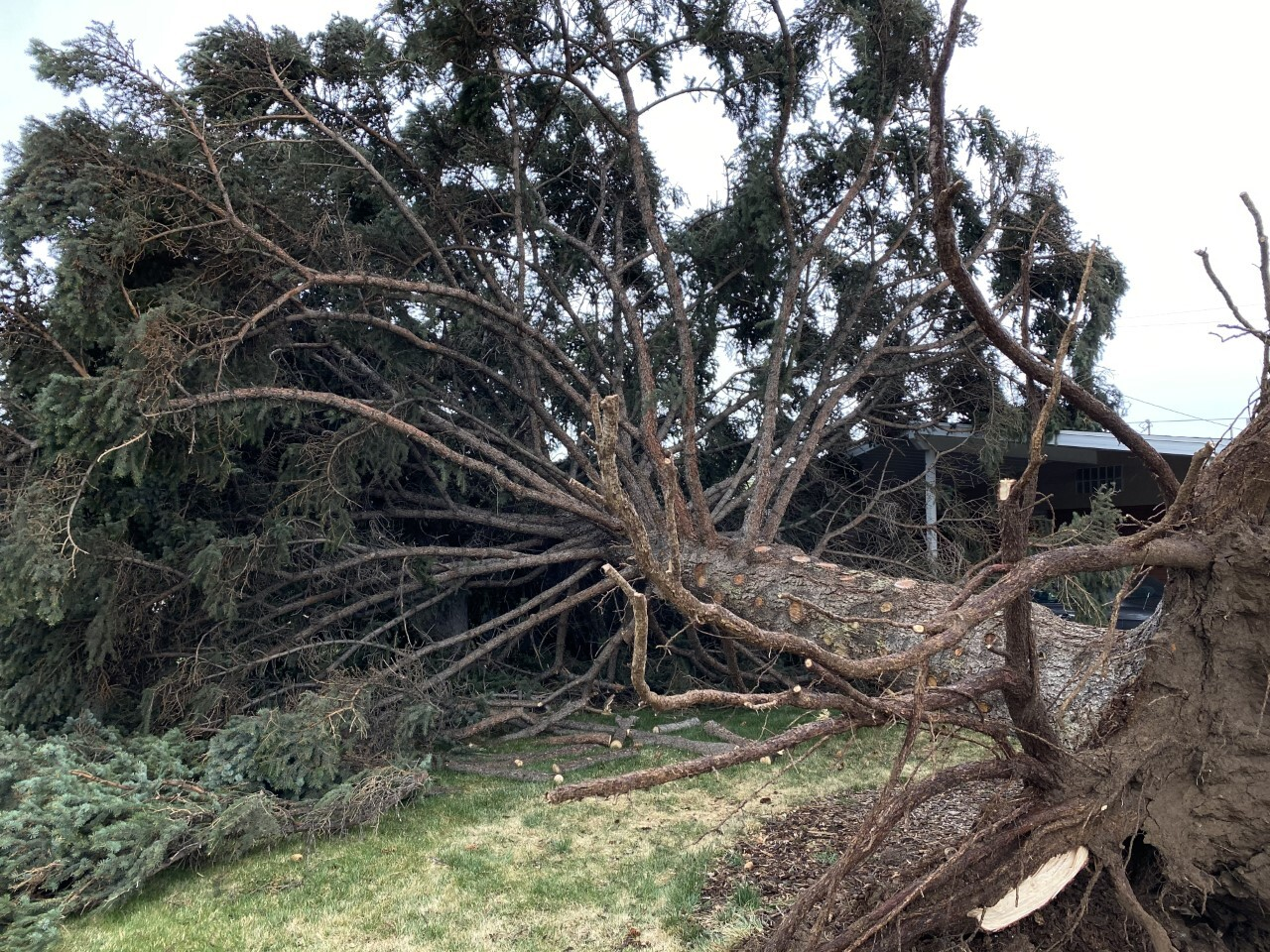 Orem Legecay Spruce (2).jpg
