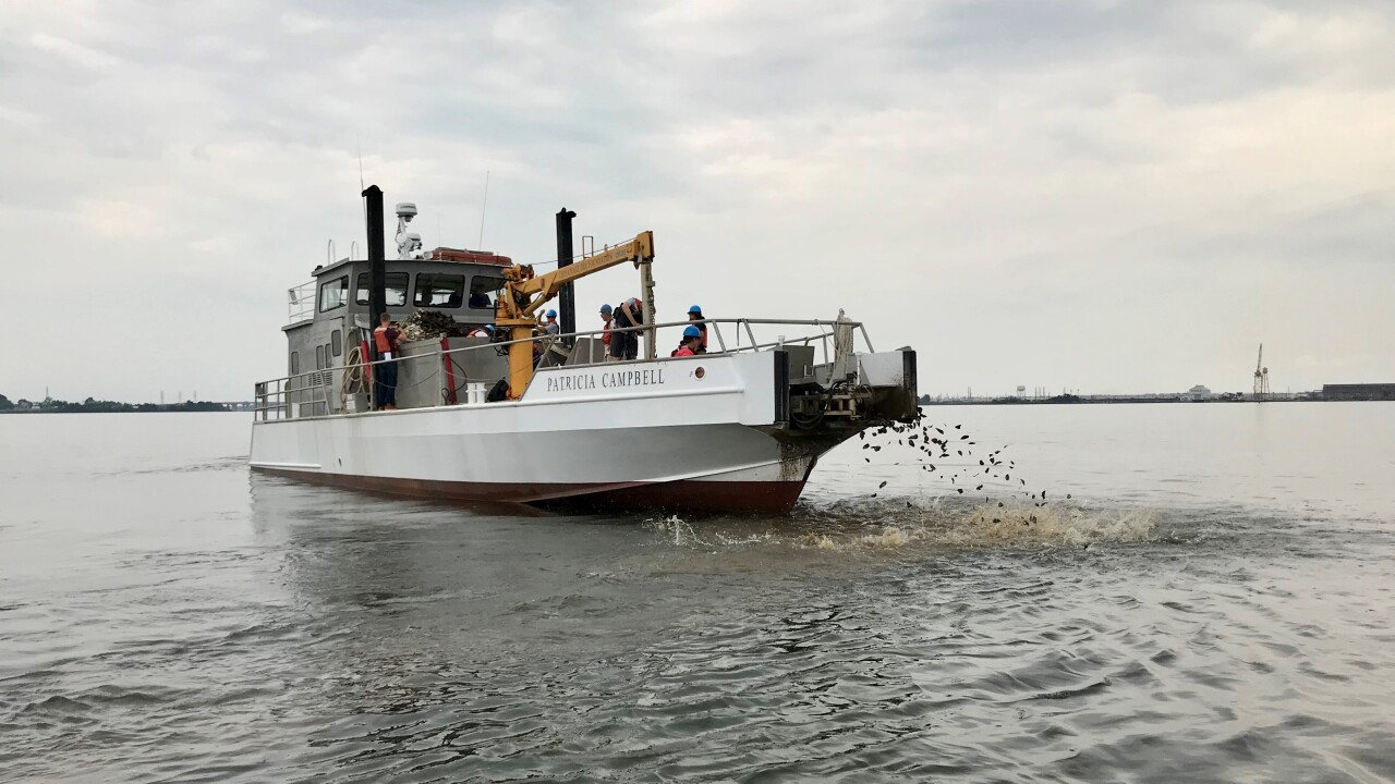 Oysters being planted.jpg