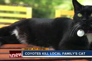 Coyote caught on home security camera attacking, killing a cat in Sarasota