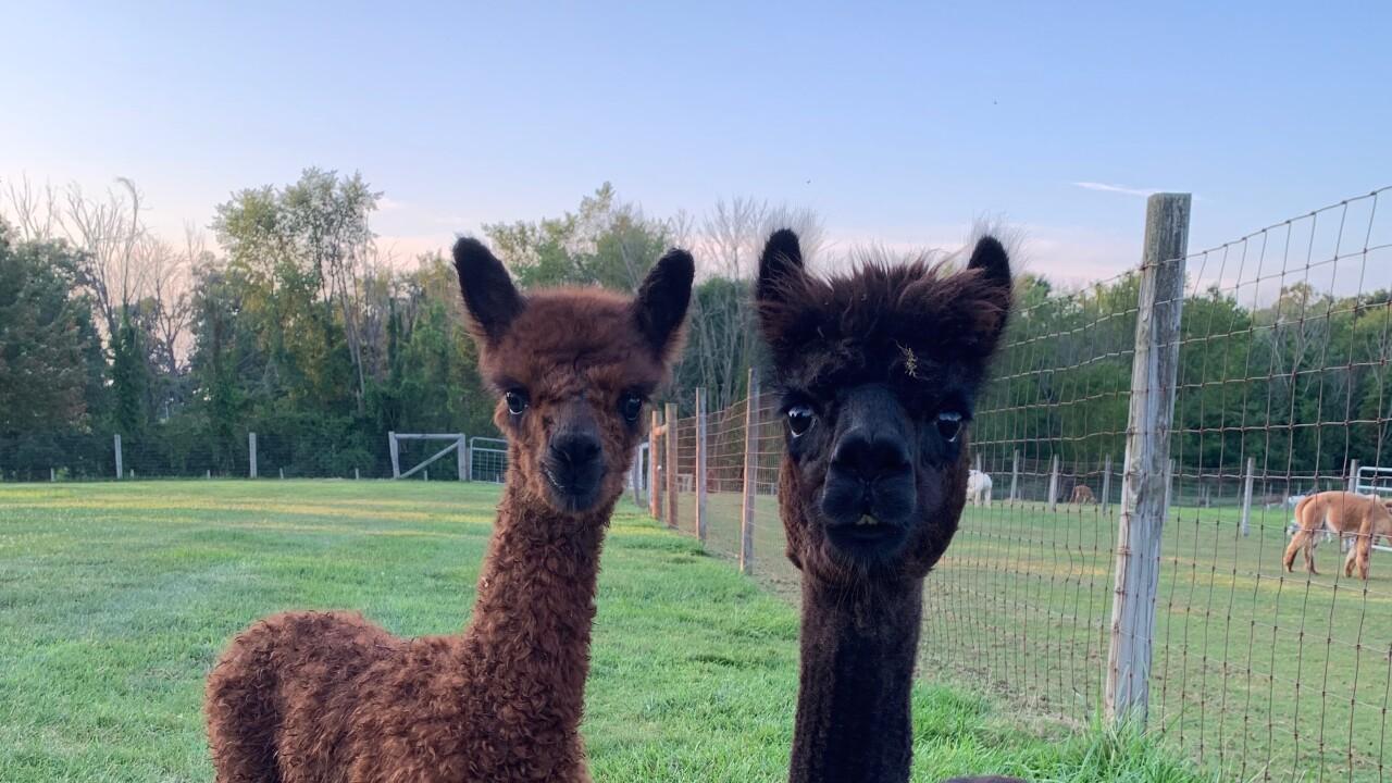 Meet Alpacas At Majestic Meadows Alpacas Farm On Saturday