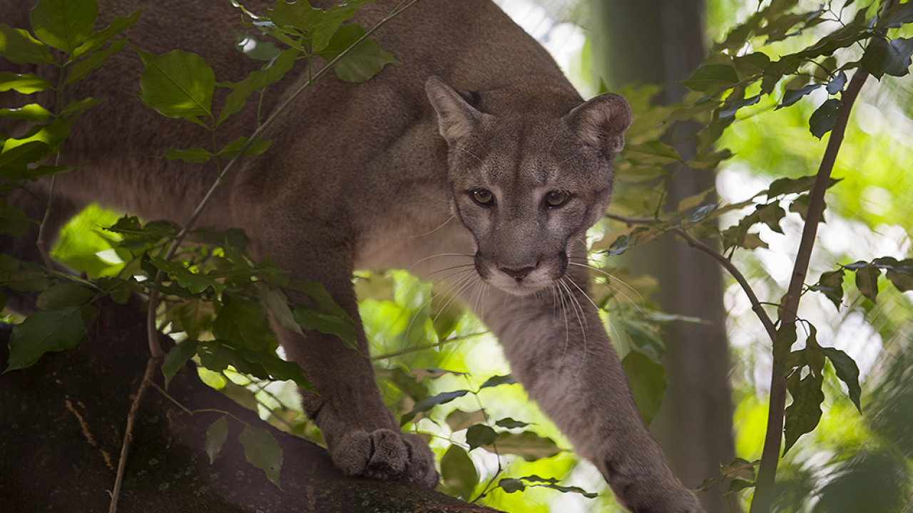 Florida-Panther-GETTY.png