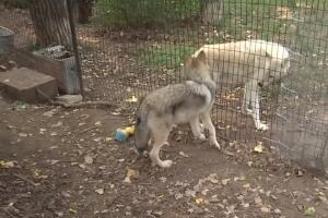 Simpson the wolf recovering nicely at ZooMontana