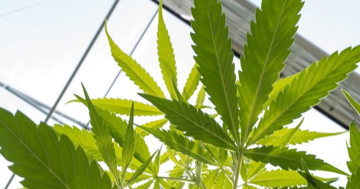 Backers to revise Arizona marijuana measure after review