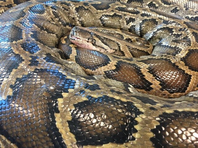 PHOTOS : Conservancy of Southwest Florida necropsy demonstration of a 17-foot Python