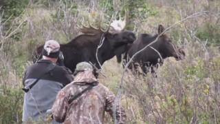 Close Moose.jpg