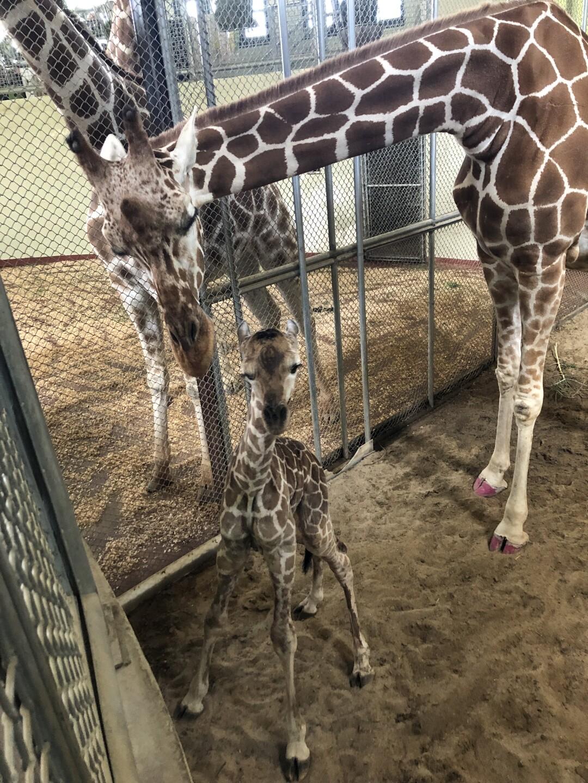 Newborn calf at Cheyenne Mountain Zoo
