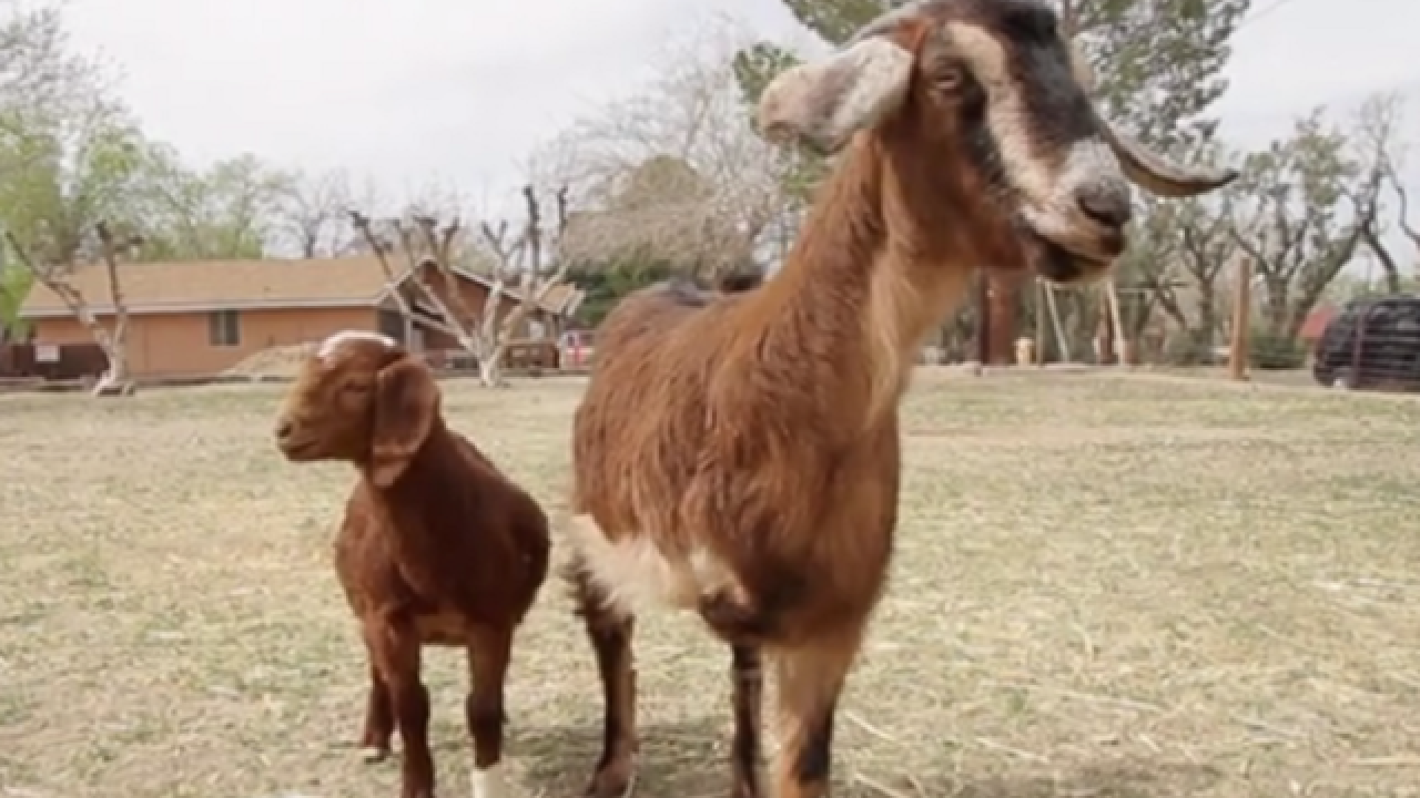 WATCH: Baby goat found near busy street has new life