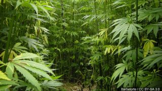 Could legalized hemp become a cash crop in South Texas?