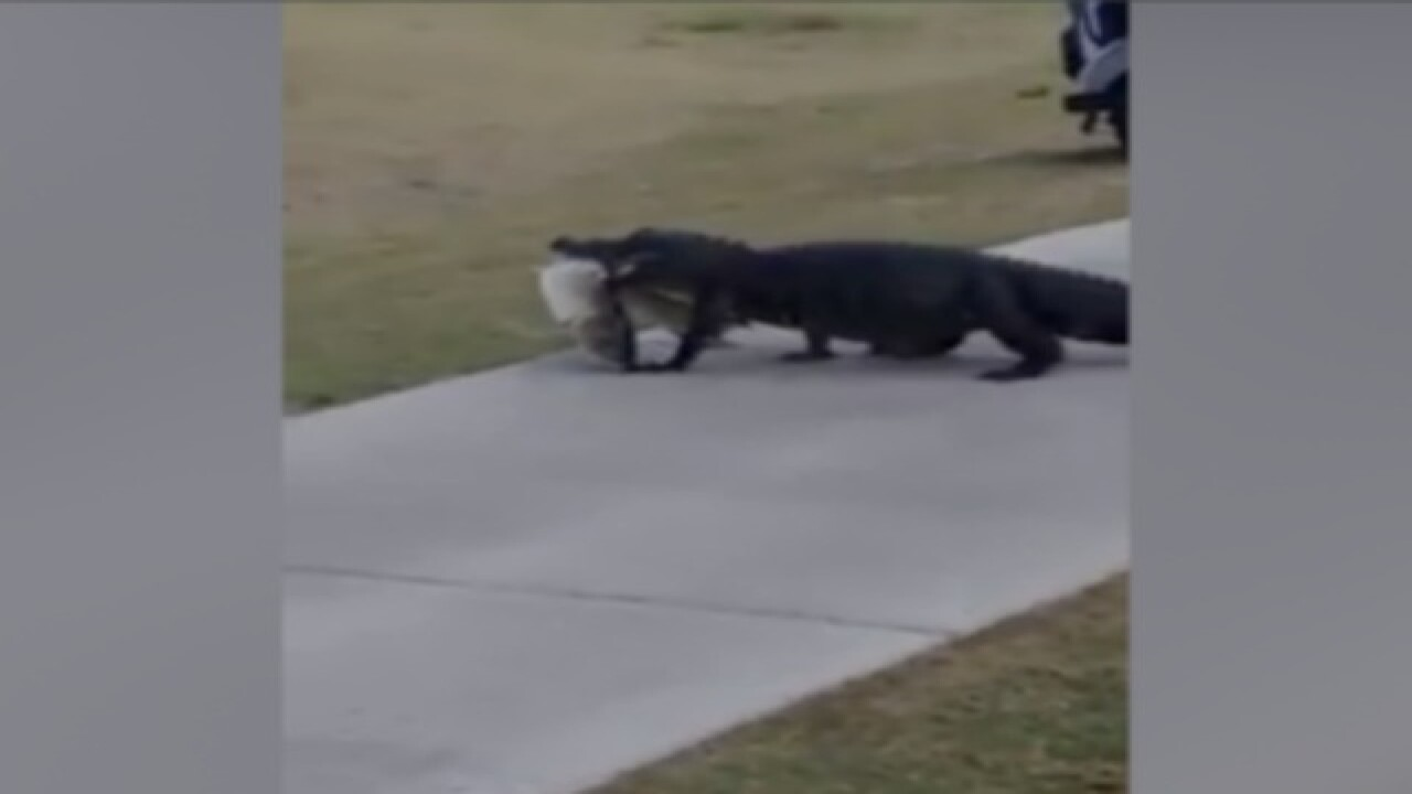 Gator takes huge fish across golf course