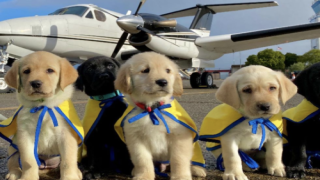 Volunteer Pilots Are Flying Future Service Puppies Across The Country To Start Their Training