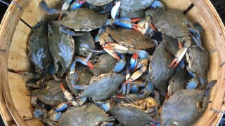 Chesapeake Bay's blue crab population is healthy