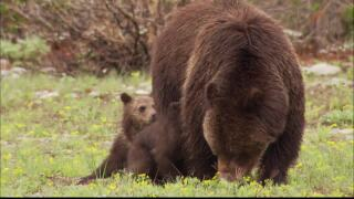 FWP issues reminder after 2 yearling grizzly bears euthanized