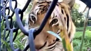 Meet ZooMontana's tigers (VIDEO)